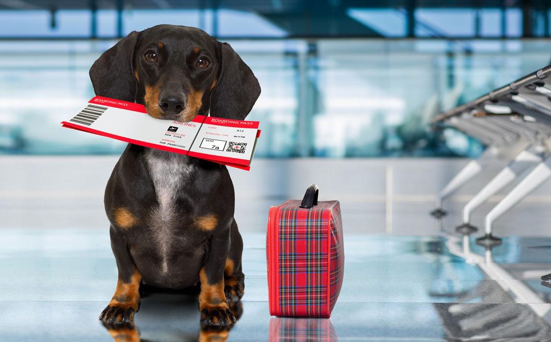 Conheça as regras para levar animais no voo